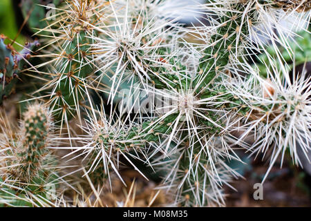 Close of a Cylindropuntia. Arrid cactus with long white spines and cracked green flesh. - Stock Photo