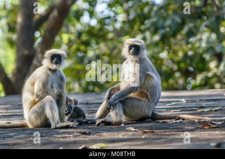 Grey langurs or Hanuman langurs family at Western Ghats, India. ( Presbytis entellus ) - Stock Photo