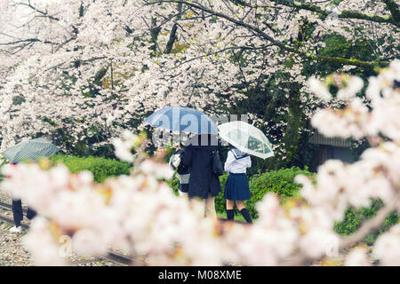 Cherry blossom flowers in garden with many people at Kyoto, Japan. - Stock Photo