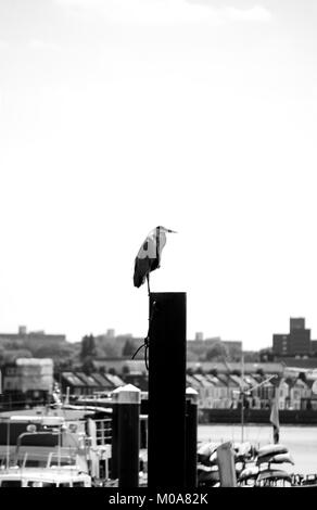Grey heron (Ardea cinerea) stands on a post on the Thames river side, London, UK - Stock Photo