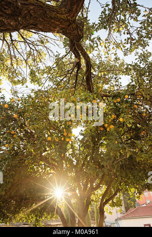 Orange Trees in Lisbon, Portugal in sunflare - Stock Photo