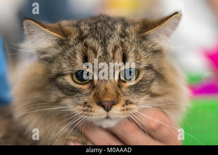 Siberian brown cat, brown tabby long haired - Stock Photo