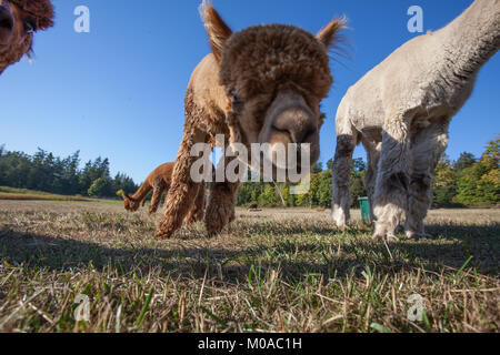 Looking up at cute Alpacas - Stock Photo