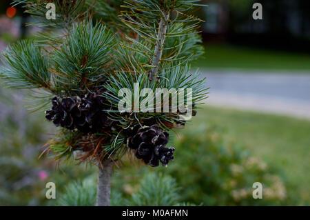Close-up dark pine cones on a long needle pine tree sapling - Stock Photo