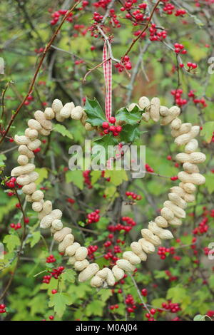 Creating a speedy, winter heart-shaped bird feeder from monkey nuts (step by step guide). Step 3/3: Place feeder - Stock Photo