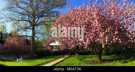 Residence outside beautiful mature landscaping big cherry tree full bloom tall budding oak tree freshly mowed lawn - Stock Photo
