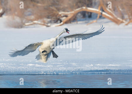 Trumpeter swans (Cygnus buccinator), St. Croix River between Minnesota & Wisconsin. Hudson, WI, USA, by Dominique - Stock Photo