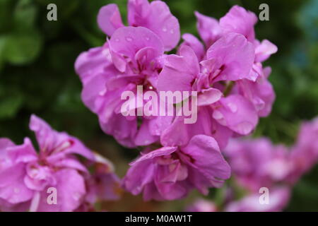 Raindrops on a flower - Stock Photo