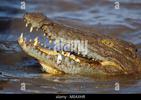 Nile crocodile (Crocodylus niloticus) catching a small fish, Kruger National Park, South Africa - Stock Photo