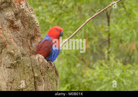 Eclectus Parrot Eclectus roratus Female at nest hollow Captive - Stock Photo
