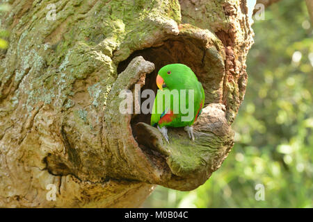 Eclectus Parrot Eclectus roratus Male at nest hollow Captive - Stock Photo