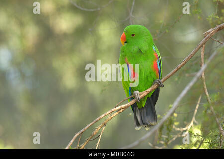 Eclectus Parrot Eclectus roratus Male Captive - Stock Photo