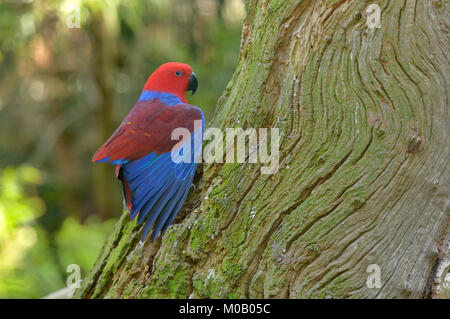 Eclectus Parrot Eclectus roratus Female Captive - Stock Photo