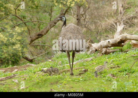 Emu Dromaius novaehollandiae Male with chicks Photographed in Victoria, Australia - Stock Photo
