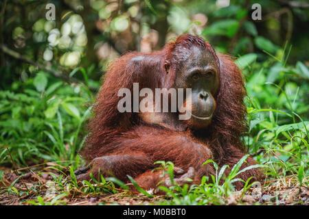 A close up portrait of the Bornean orangutan (Pongo pygmaeus). Wild nature. Central Bornean orangutan ( Pongo pygmaeus - Stock Photo