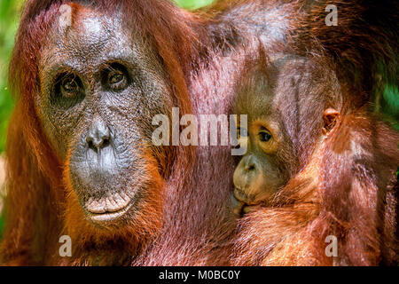Cub sucking milk from orangutan mom. Mother orangutan and cub in a natural habitat. Bornean orangutan (Pongo pygmaeus - Stock Photo
