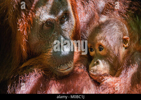 Cub sucking milk from orangutan mom. Mother orangutan and cub in a natural habitat. Bornean orangutan (Pongo pygmaeus - Stock Photo