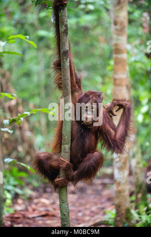 A close up portrait of the young Bornean orangutan (Pongo pygmaeus) with open mouth. Wild nature. Central Bornean - Stock Photo
