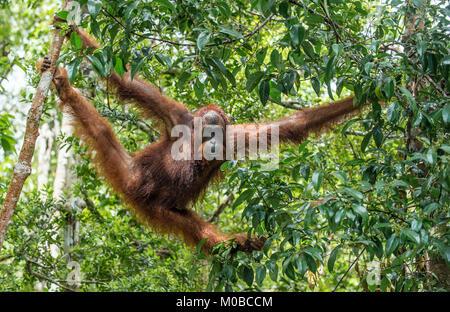Bornean orangutan on the tree under rain in the wild nature. Central Bornean orangutan ( Pongo pygmaeus wurmbii - Stock Photo