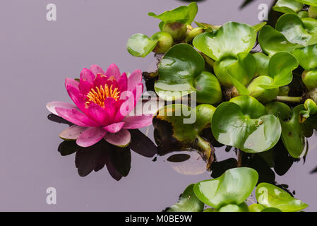 Colorful hot pink lily pad with shadow reflection on mirror like pond water with adjacent lily pad green leaves. - Stock Photo