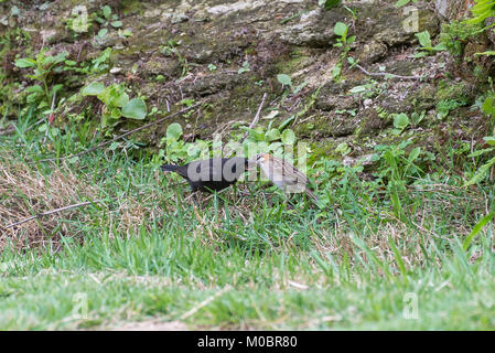 The rufous collared sparrow feeding the shiny cowbird on the ground - Stock Photo