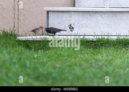 Little rufous collared sparrow feeding a shiny cowbird by the house - Stock Photo