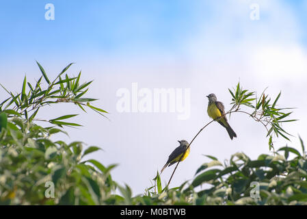 The cattle tyrant yellow bird perched on a tree branch in forest - Stock Photo