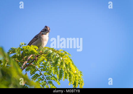 rufous collared sparrow posing on a top tree branch - Stock Photo