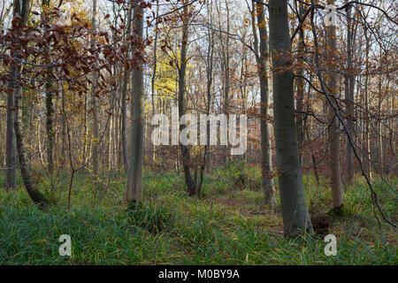 Setting sunlight shining through woodland trees - Stock Photo