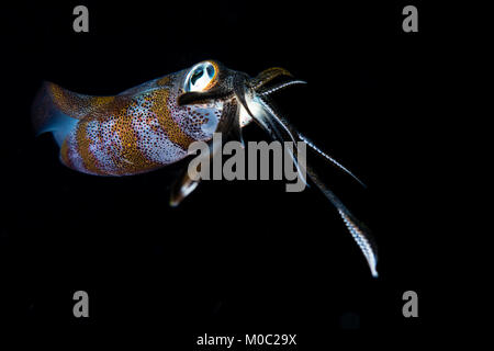 A squid showing its tentacles and full body, during a night dive by Satonda island in West Sumbawa. - Stock Photo