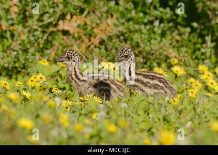 Emu Dromaius novaehollandiae Chicks Photographed in Victoria, Australia - Stock Photo
