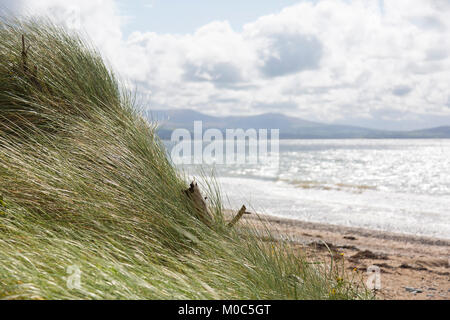 Grass blows in the wind at the edge of a forrest beside Llanddwyn Beach - Stock Photo
