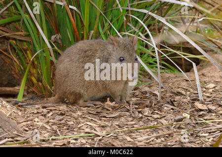 Long-nosed Potoroo Potorous tridactylus Photographed in Tasmania, Australia - Stock Photo