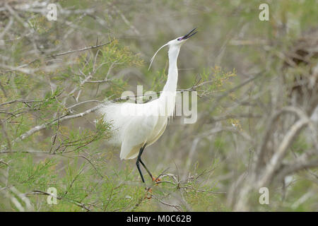 Little Egret Egretta garzetta Nuptial display Photographed in The Camargue, France - Stock Photo