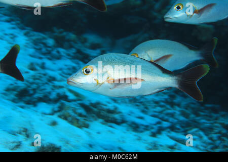 Humpback red snapper fish (Lutjanus gibbus) underwater in the Maldives - Stock Photo