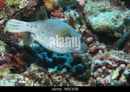 Blackspotted pufferfish (Arothron nigropunctatus) underwater in the tropical coral reef - Stock Photo