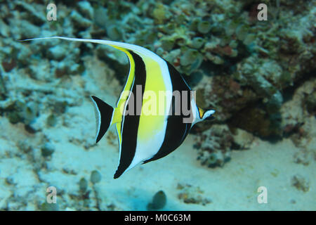 Moorish idol fish (Zanclus cornutus) underwater in the tropical waters of the indian ocean - Stock Photo