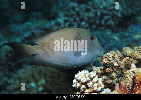 Striated surgeonfish (Ctenochaetus striatus) underwater in the tropical waters of the indian ocean - Stock Photo