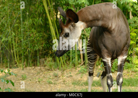Okapi Okapia johnstoni Endangered species Captive - Stock Photo