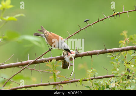 Red-backed Shrike Lanius collurio Male at larder Photographed in France - Stock Photo