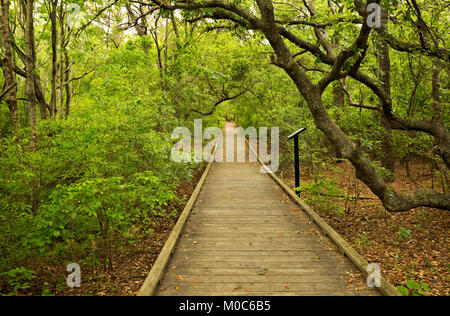 NC01375-00...NORTH CAROLINA - Boardwalk trail through an oak and loblolly pine forest at the Currituck Banks Reserve - Stock Photo