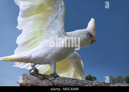 Backyard birds in Australia: A Little Corella (Cacatua snaguinea) flies in to my backyard. Melbourne, Victoria. - Stock Photo
