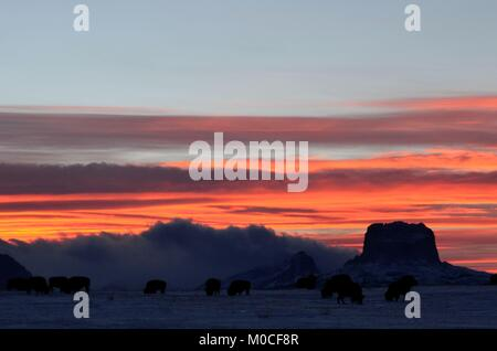 A herd of buffalo grazing in a field with an amazing sunset over looking Chief mountain - Stock Photo