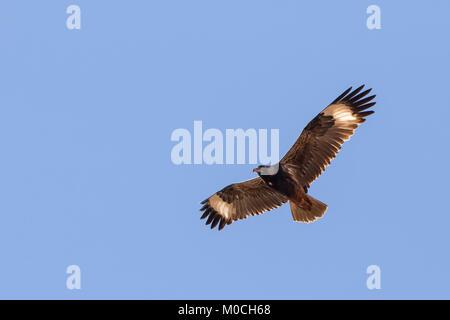 Black-breasted Buzzard (Hamirostra melanosternon) - Stock Photo
