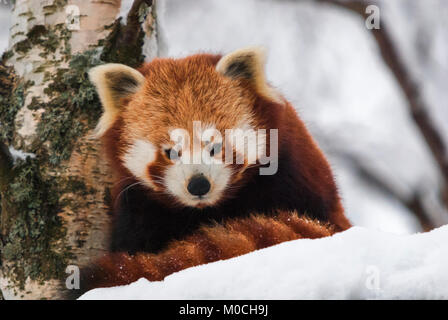 A close up image of a Red Panda, Ailurus fulgens, in the snow at the Highland Wildlife Park, Kingussie, Scotland. - Stock Photo