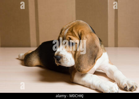 Beagle dog laying on the floor and looking down sadly - Stock Photo