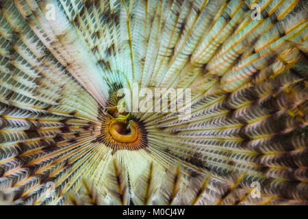 Underwater photography Anilao Philippines, feather duster warm - Stock Photo