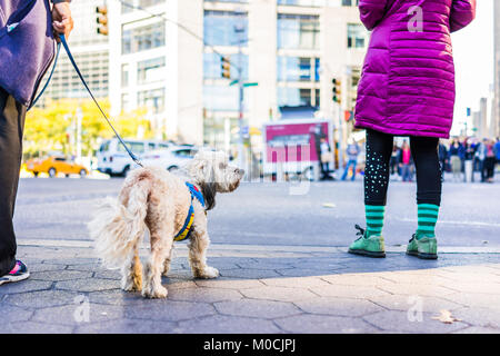 Midtown Manhattan NYC New York City with ground level closeup of terrier dog on leash, people standing waiting to - Stock Photo