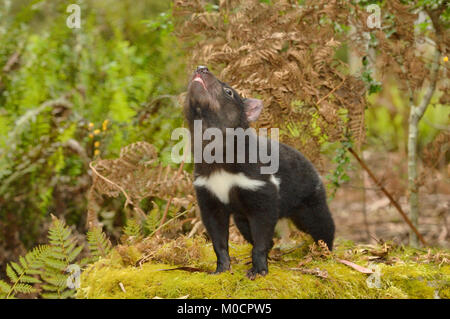 Tasmanian Devil Sarcophilus harrisii Young devil Photographed in Tasmania, Australia - Stock Photo