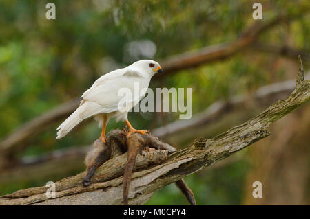 Grey (White) Goshawk Accipiter novaehollandiae With prey Photographed in Tasmania, Australia - Stock Photo